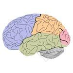 Základné údaje o mozgu