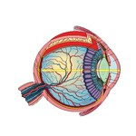Očná guľa a druhotné ústroje oka