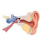 Anatómia a funkcia jednotlivých častí ucha