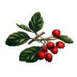 Hloh-Crataegus-oxyacantha