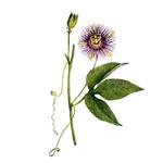 Mucenka-pletova-Passiflora-incarnata