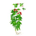 Fazula-zahradna