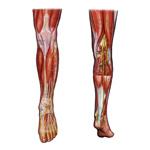 Kosti a kĺby dolnej končatiny