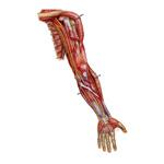 Kosti a klby hornej končatiny