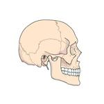 Kosti a kĺby lebky a chrbtice
