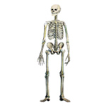 Kosti a kĺby