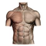 Brušné svalstvo